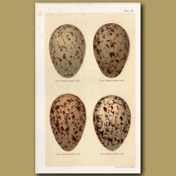Great Gull Eggs