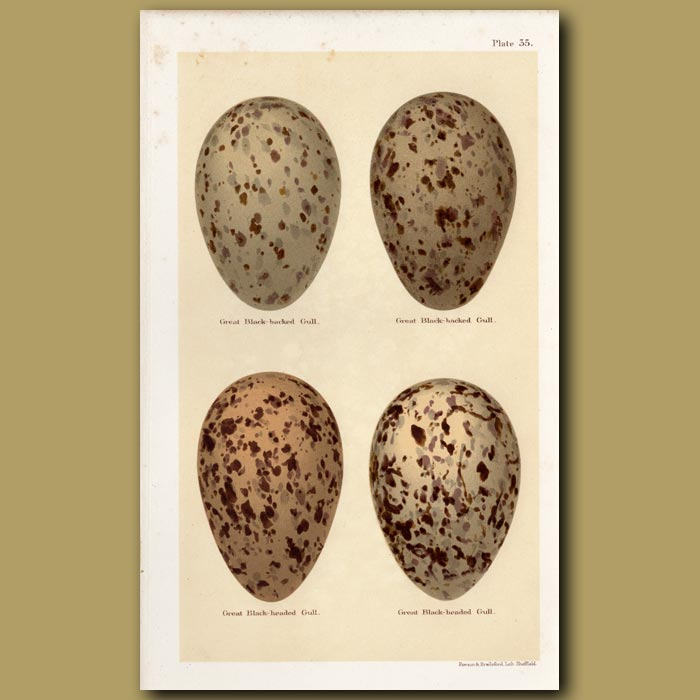Antique print. Great Gull Eggs