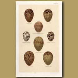 Gull And Pratincole Eggs