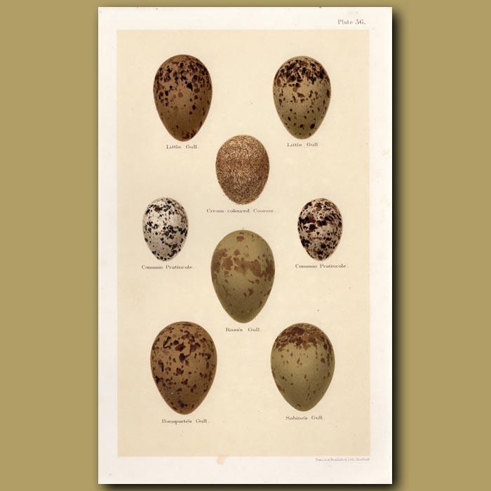 Antique print. Gull And Pratincole Eggs