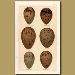 Skua Eggs