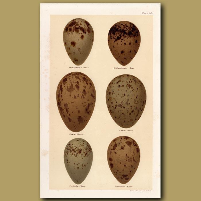 Antique print. Skua Eggs
