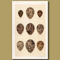 Phalarope Eggs