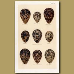 Plover Eggs