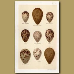 Sandpiper Eggs