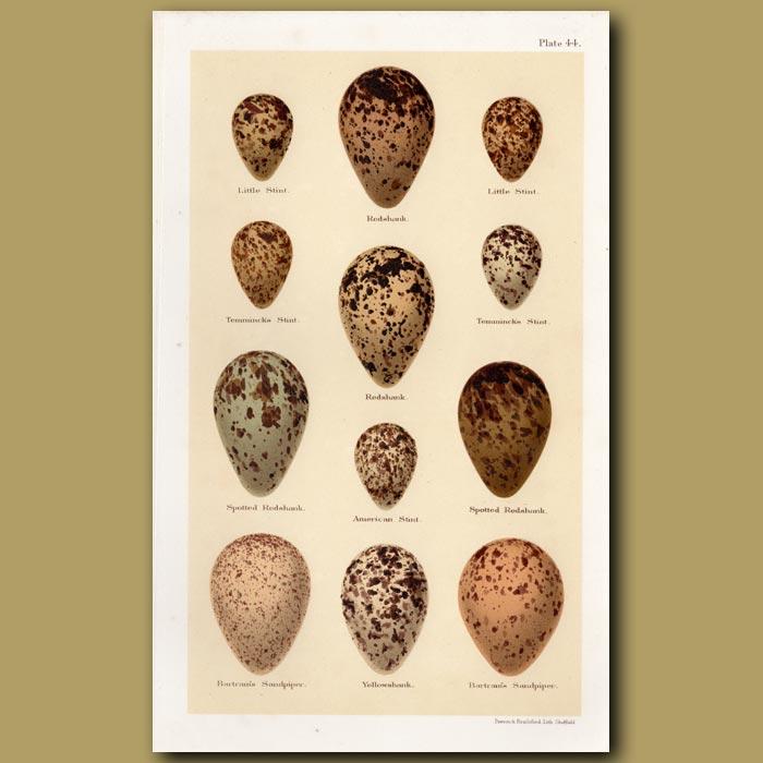 Antique print. Stint And Redshank Eggs