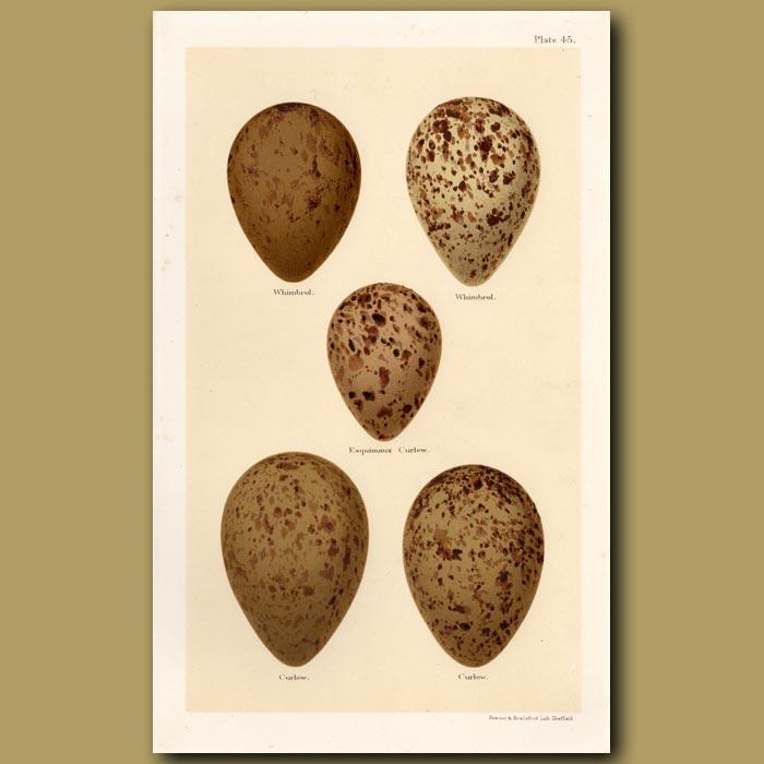 Antique print. Curlew Eggs