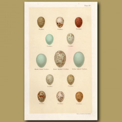 Cuckoo Eggs