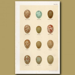 Thrush Eggs