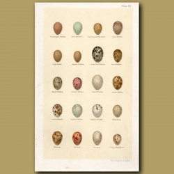 Warbler Eggs