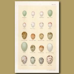 Wren And Creeper Eggs