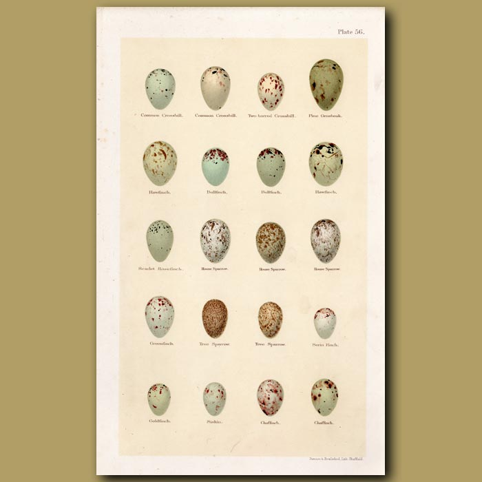 Antique print. Finch And Sparrow Eggs
