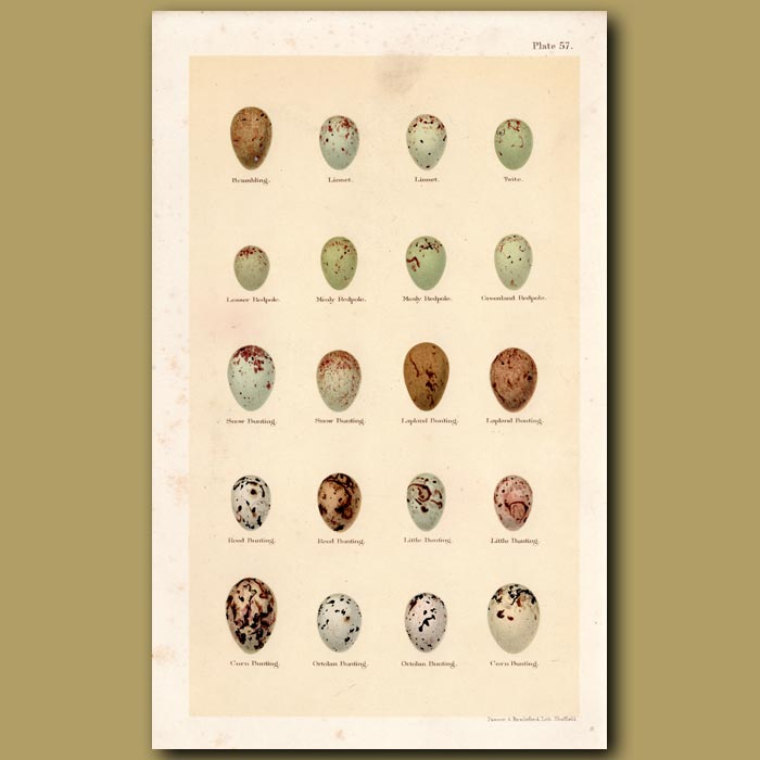 Antique print. Redpole And Bunting Eggs