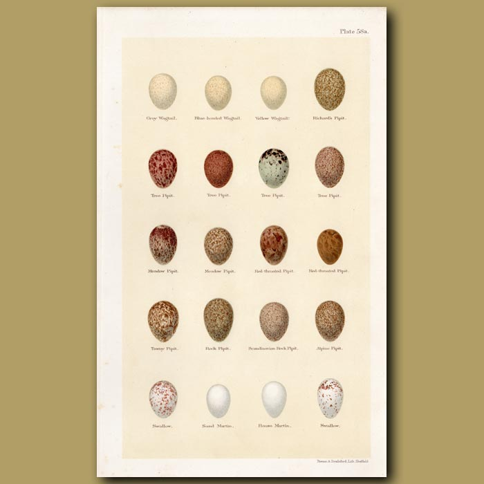 Antique print. Wagtail Eggs