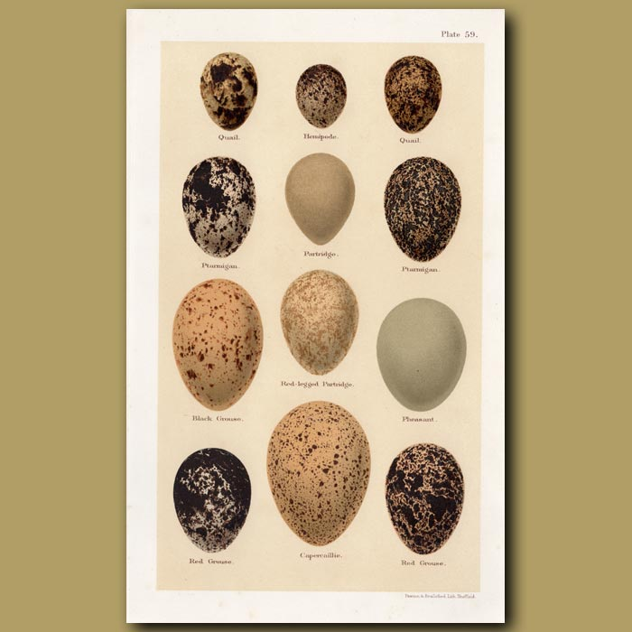 Antique print. Partridge And Grouse Eggs