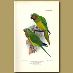 Brown Throated And Cactus Conures