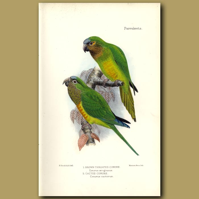 Antique print. Brown Throated And Cactus Conures