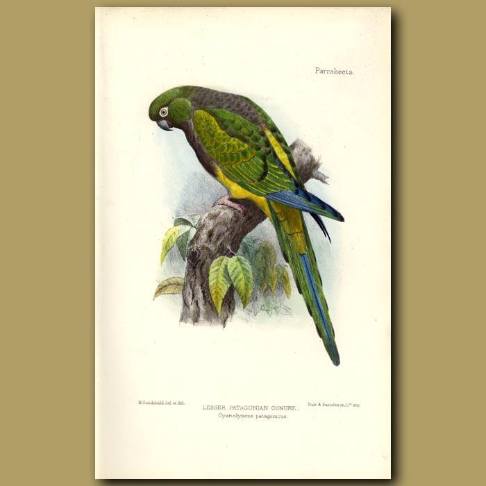 Antique print. Lesser Patagonian Conure