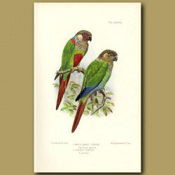 White Eared And Pearly Conure