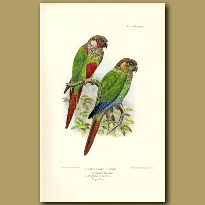 Antique print. White Eared And Pearly Conure