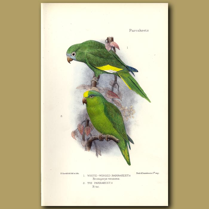Antique print. White Winged And Tui Parakeets