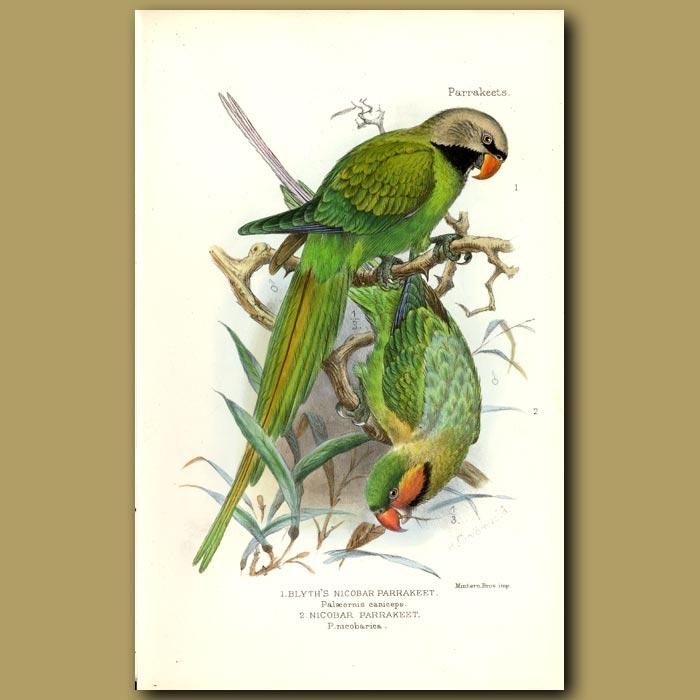 Antique print. Nicobar And Blythe's Nicobar Parakeets