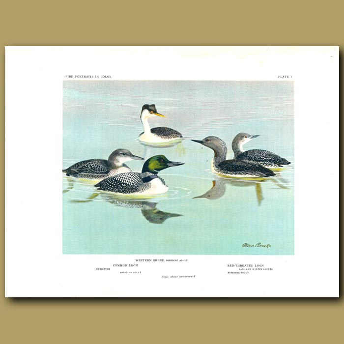 Antique print. Western Grebe, Common Loon And Red-Throated Loon