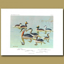 Eared Grebe, Horned Grebe, Holboell's Grebe And Pied-Billed Grebe