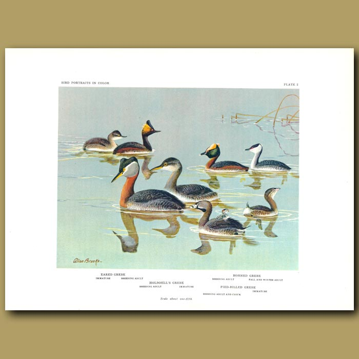 Antique print. Eared Grebe, Horned Grebe, Holboell's Grebe And Pied-Billed Grebe
