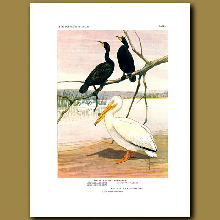Antique print. Double-Breasted Cormorant And White Pelican