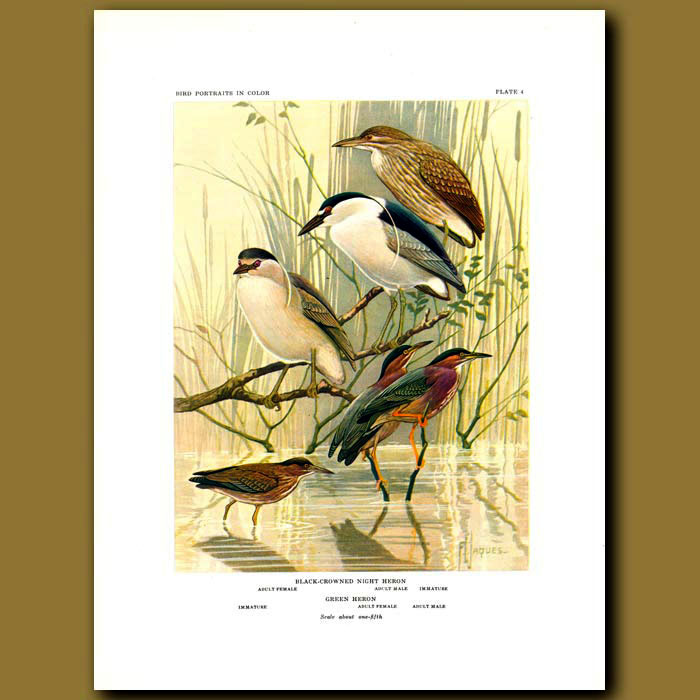 Antique print. Black-Crowned Night Heron And Green Heron