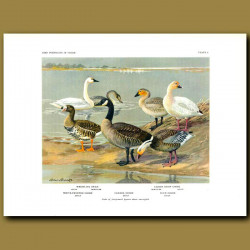 Whistling Swan, Lesser Snow Goose, White-Fronted Goose, Canada Goose And Blue Goose