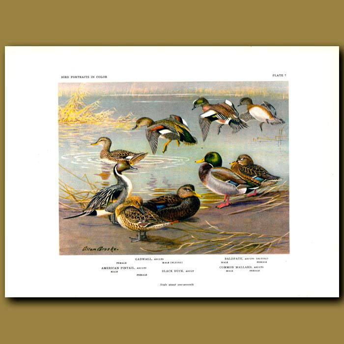 Antique print. Gadwall, Baldpate, American Pintail, Black Duck And Common Mallard
