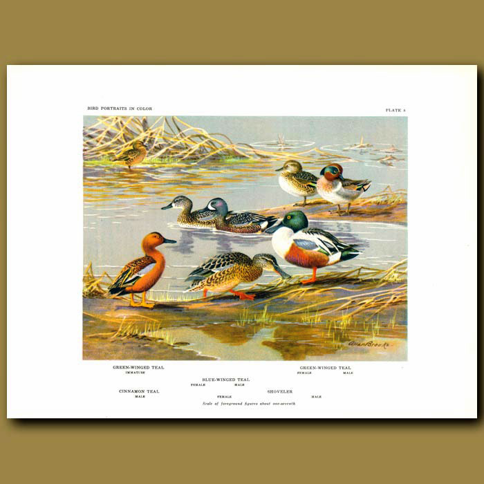 Antique print. Green-Winged Teal, Blue-Winged Teal, Cinnamon Teal And Shoveler