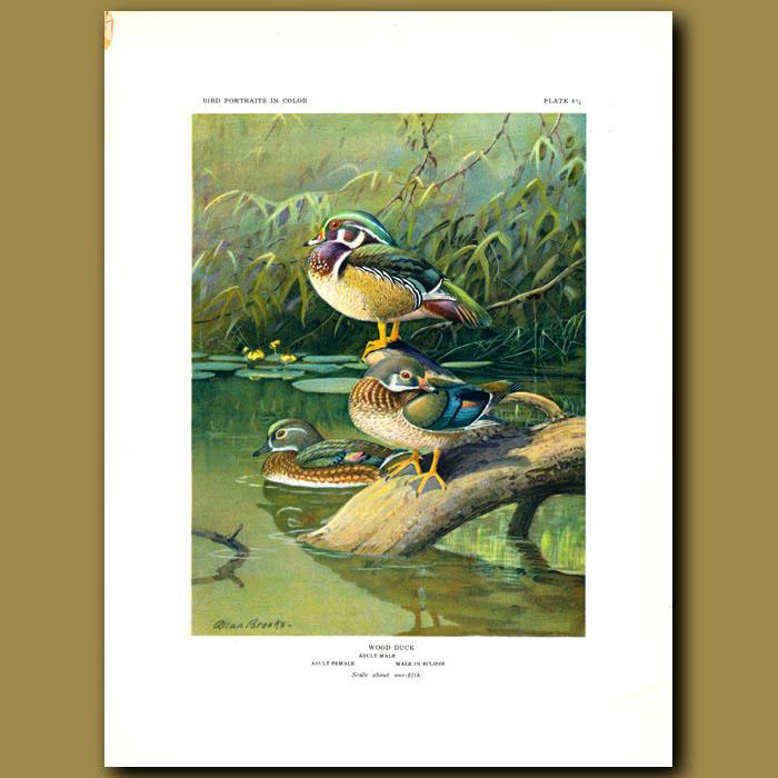 Antique print. Wood Duck
