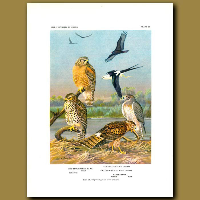 Antique print. Red-Shouldered Hawk, Turkey Vulture, Swallow-Tailed Kite And Marsh Hawk