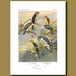 Cooper's Hawk, Sharp-Shinned Hawk And Goshawk
