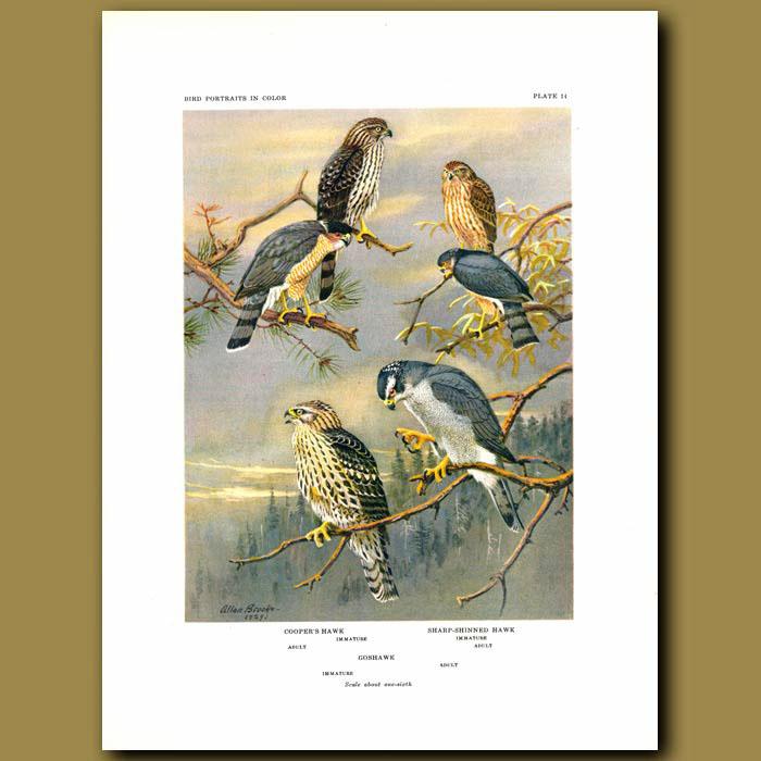 Antique print. Cooper's Hawk, Sharp-Shinned Hawk And Goshawk