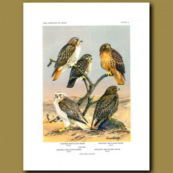 Eastern Red-Railed Hawk, Western Red-Tailed Hawk, Krider's Red-Tailed Hawk And Harlan's Red-Tailed H