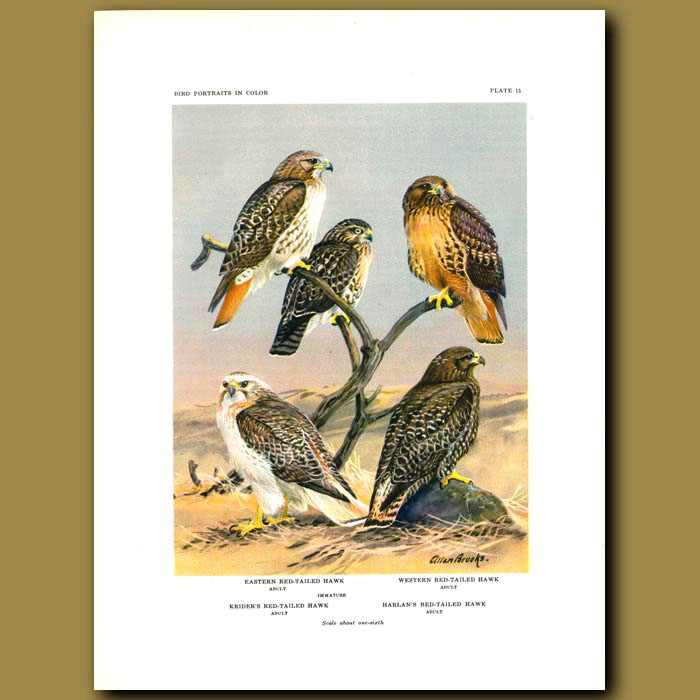 Antique print. Eastern Red-Railed Hawk, Western Red-Tailed Hawk, Krider's Red-Tailed Hawk And Harlan's Red-Tailed H