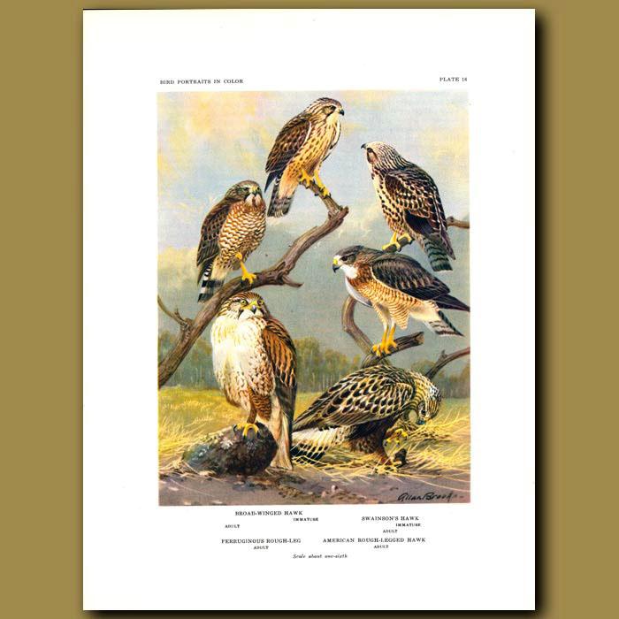 Antique print. Broad-Winged Hawk, Swainson's Hawk, Ferruginous Rough Leg And American Rough-Legged Hawk