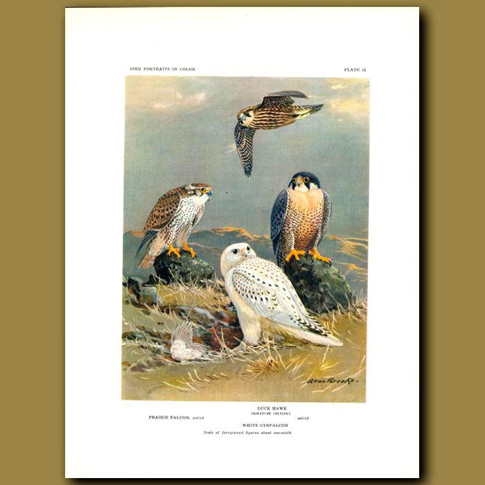 Antique print. Prairie Falcon, Duck Hawk And White Gyrfalcon