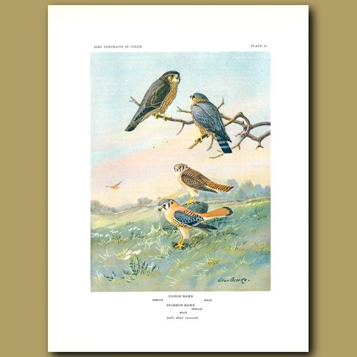 Antique print. Pigeon Hawk And Sparrow Hawk