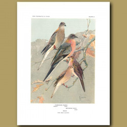 Passenger Pigeon And Mourning Dove