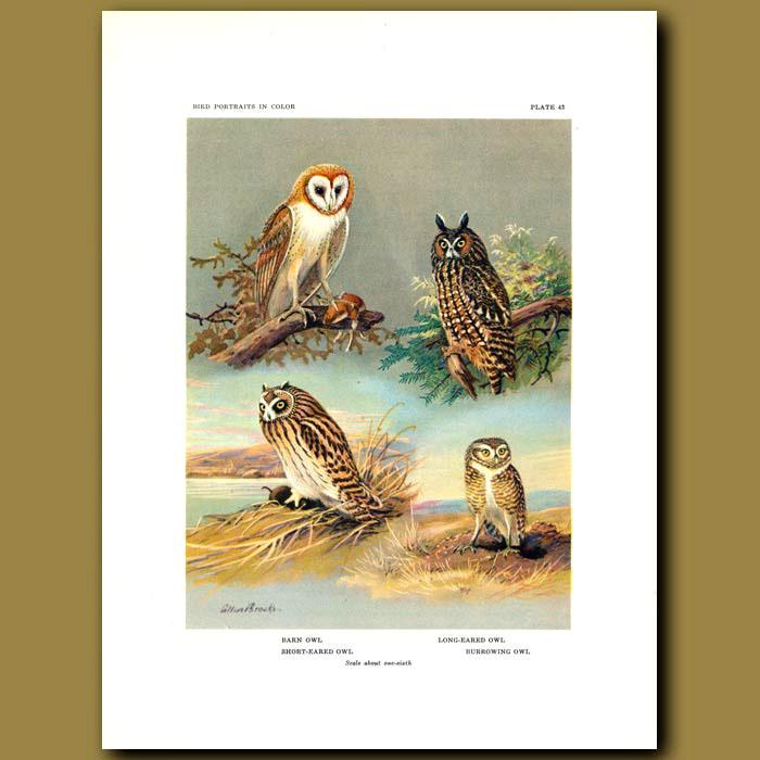 Antique print. Barn Owl, Long-Eared Owl, Short-Eared Owl And Burrowing Owl