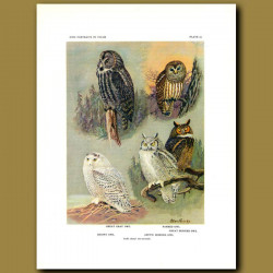 Great Gray Owl, Barred Owl, Snowy Owl And Arctic Horned Owl
