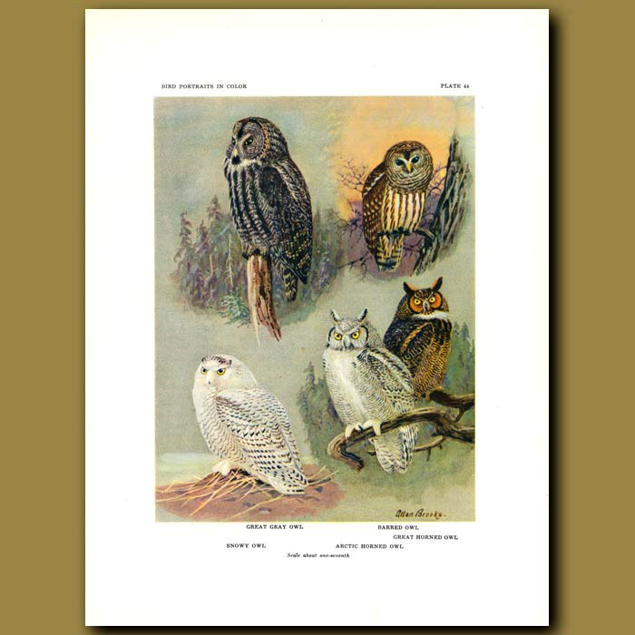 Antique print. Great Gray Owl, Barred Owl, Snowy Owl And Arctic Horned Owl