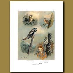 Richardson's Owl, Saw-Whet Owl, Hawk Owl And Screech Owl