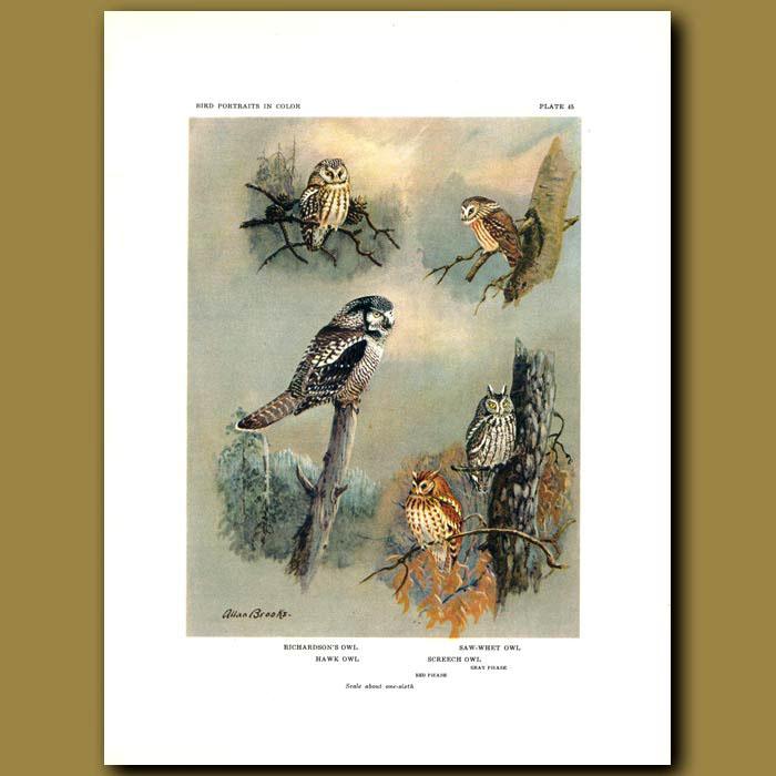Antique print. Richardson's Owl, Saw-Whet Owl, Hawk Owl And Screech Owl