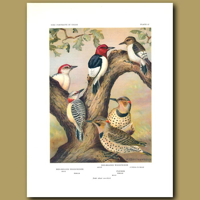 Antique print. Red-Bellied Woodpecker, Red-Headed Woodpecker And Flicker